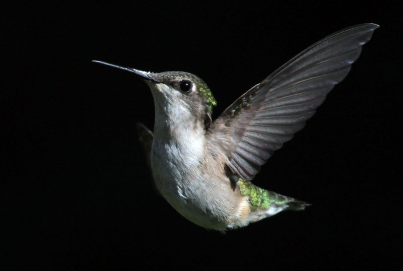 IMG_0299--colibri--2000.jpg