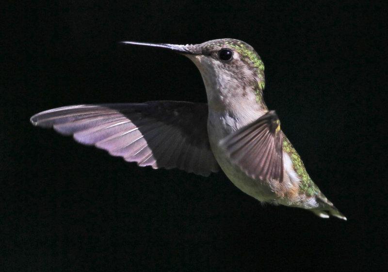 2010 08 12_lac Megantic-1-_0493--colibri--2000.jpg