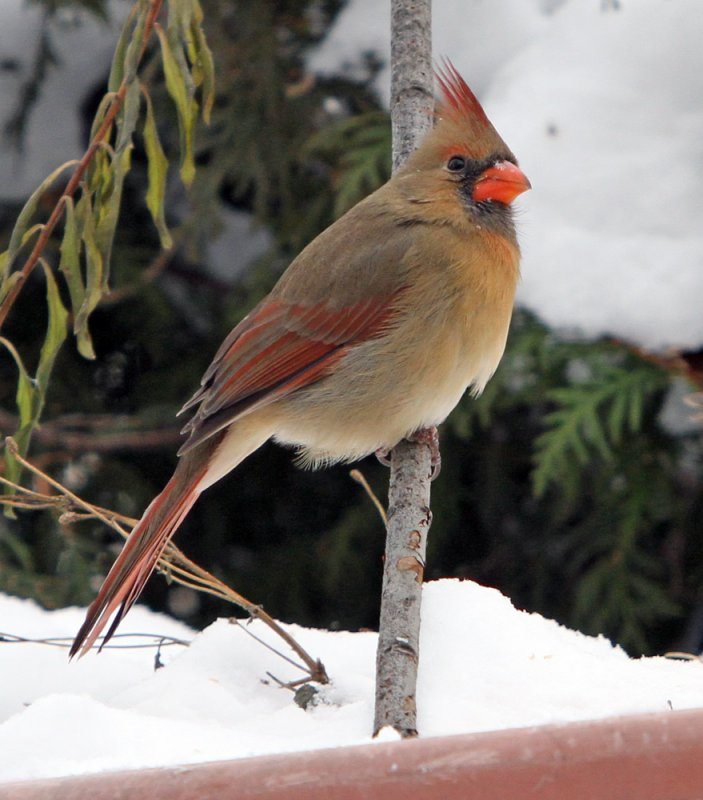 troy_2010 12 15_0080--cardinal fem.jpg