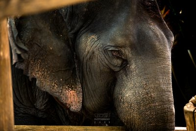 An elephant at the Elephant Park
