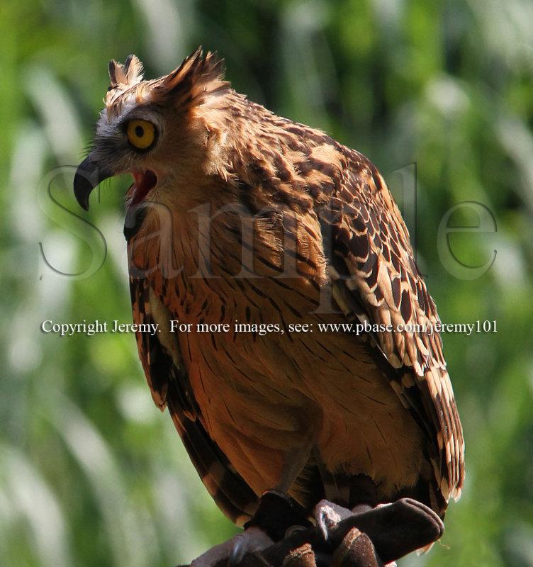 Malay Fish Owl (Jul 10)
