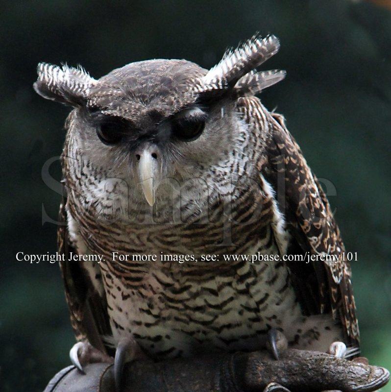 Malay Eagle Owl (Jul 10)