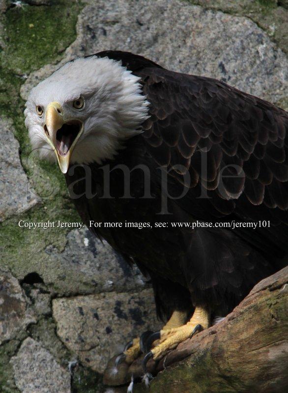 Bald Eagle (Jul 10)