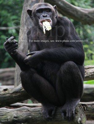 Chimpanzee (Jul 10)