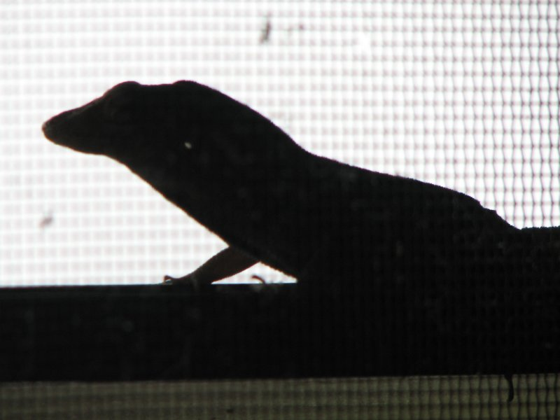 Lizard in the window