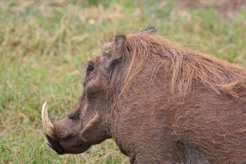 Male Warthog