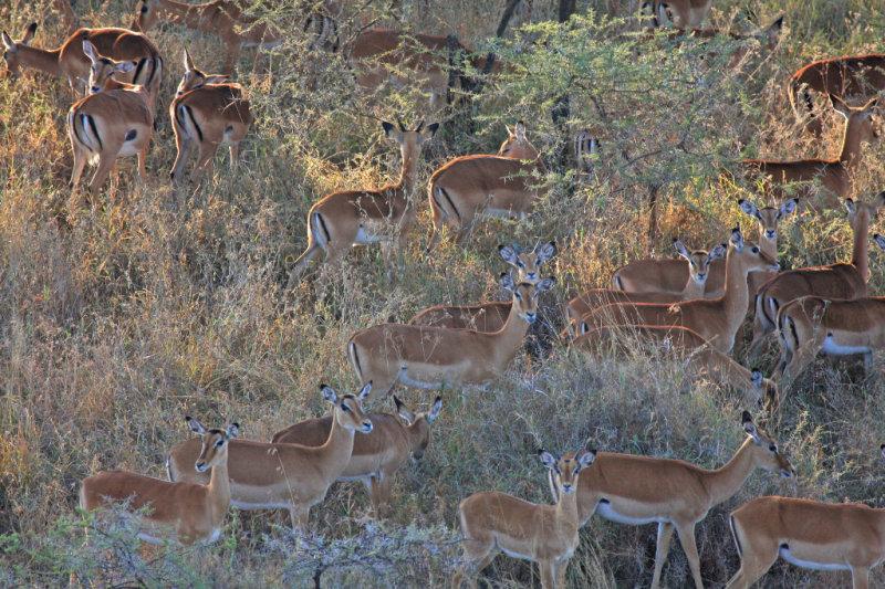 Impala: female harem
