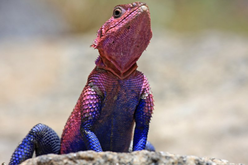Flat-headed rock agama lizard