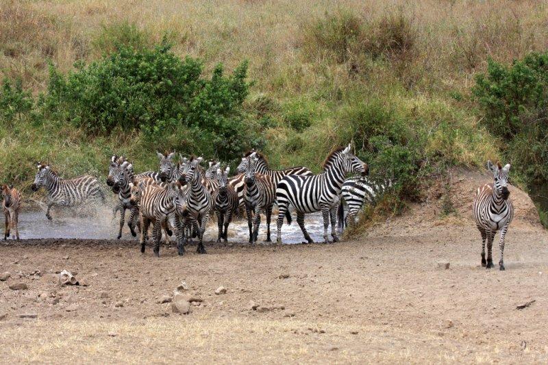 Skittish zebras going for a drink