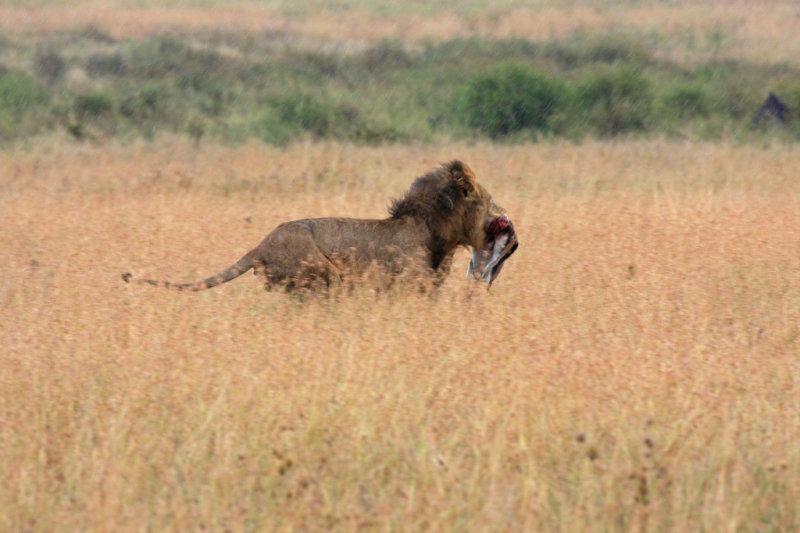 Un-regal lion retreats