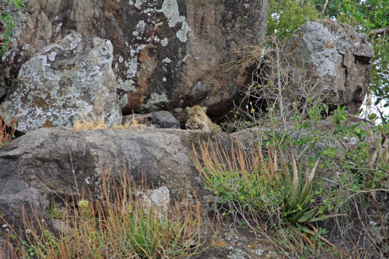 Leopard perched on kopje