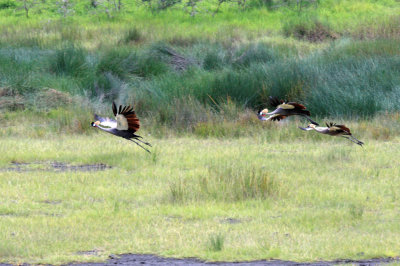 Crowned Crane Family
