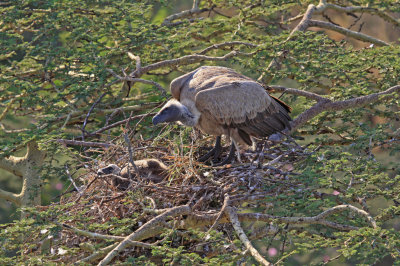 vulture and young atop acacia
