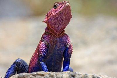 Flat-headed rock agama lizard