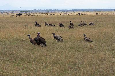Vultures and Wildebeest