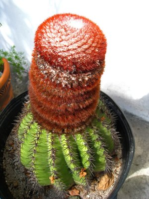 Turks Cap Cactus