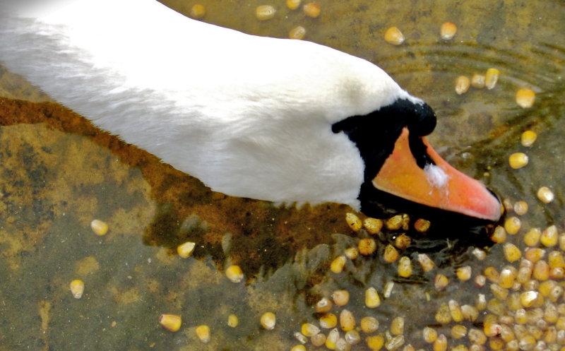 Hungry swan - Het Zwin