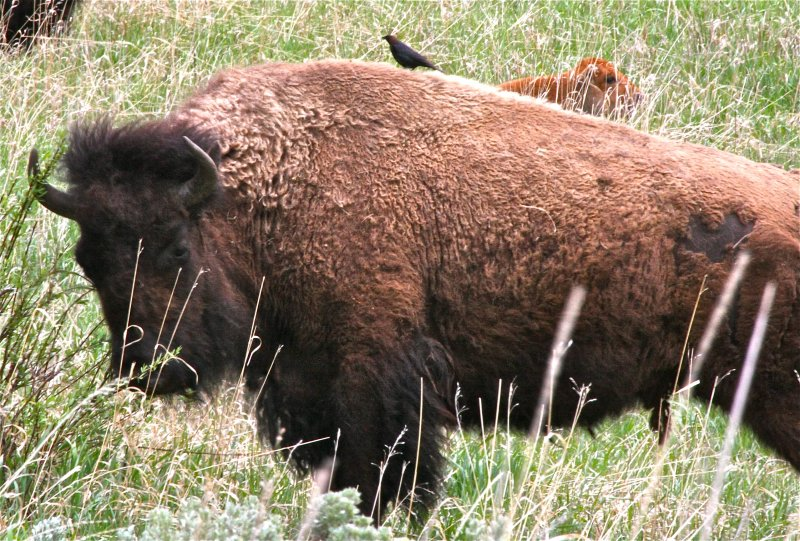 Cowbird on Bisoncow