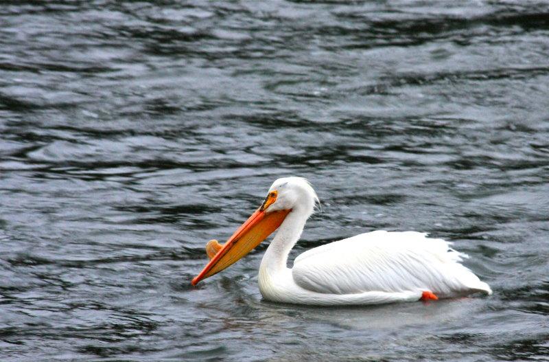 Male white pelican