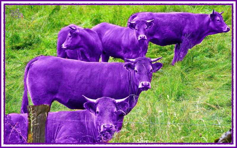 I never saw a Purple Cow