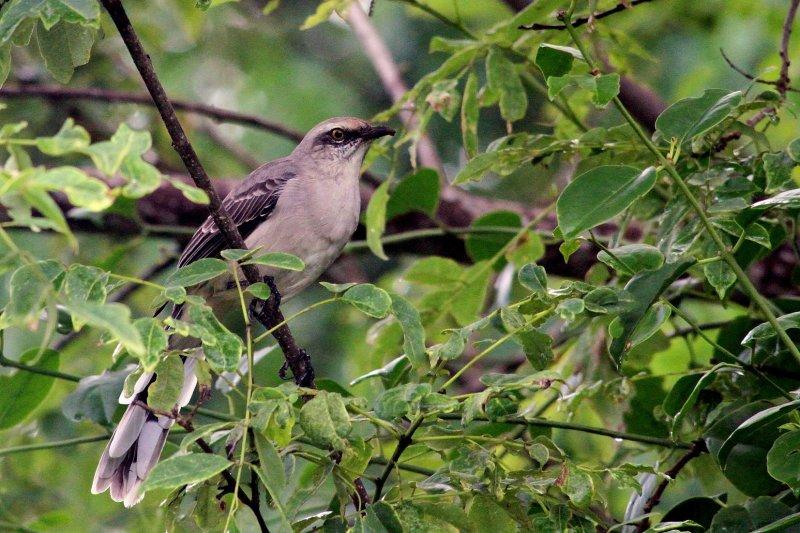 Tropical Mockingbird (Sinsonte Tropical)