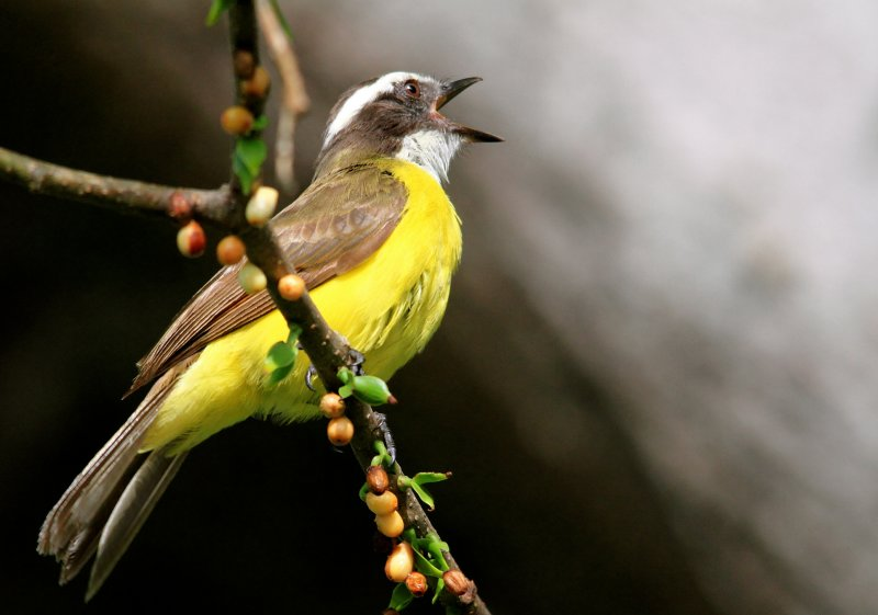 Rusty-margined Flycatcher (Myiozetetes cayanensis)