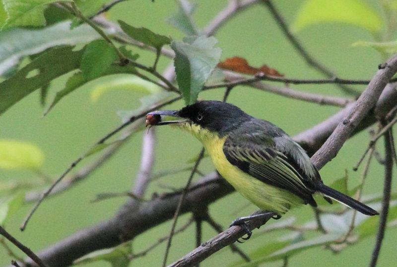 Common Tody-flycatcher (Titiriji Comun)