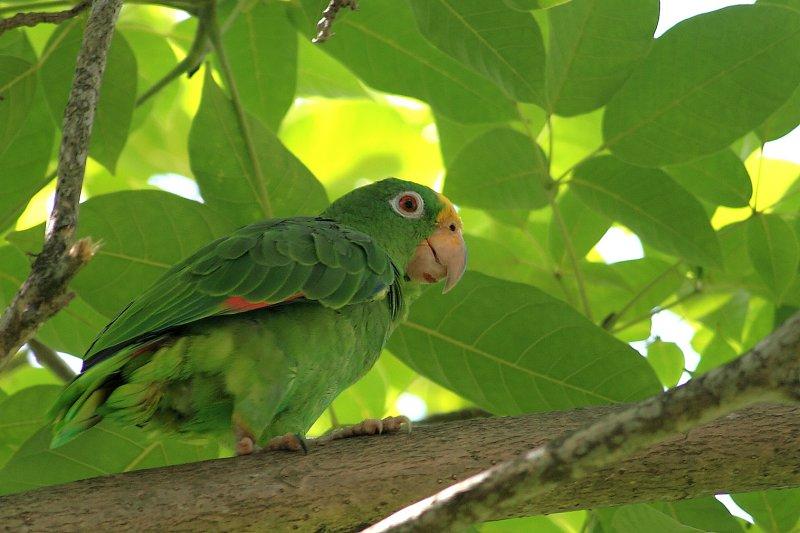 Yellow-crowned Amazon Parrot (Amazona ochrocephala)