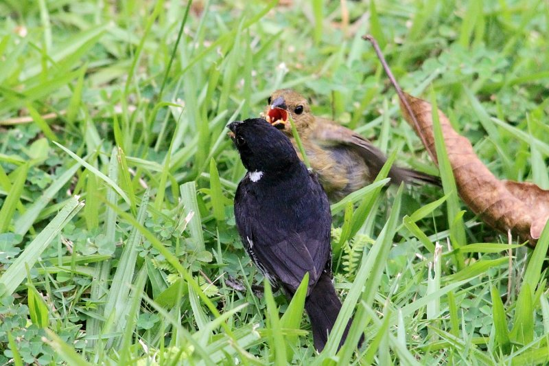 Variable Seedeaters