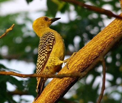 Female Woodpecker at Sunset