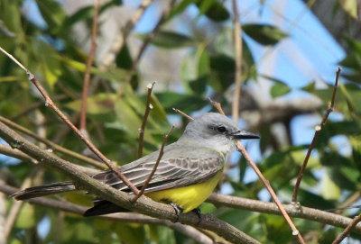 Tyran mélancolique / Tropical Kingbird (Tyrannus melancholicus)