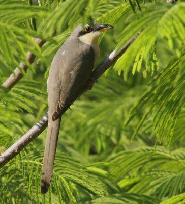 Mangrove cuckoo Coccyzus minor