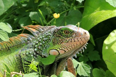 Iguana at the Punta Culebra Nature Center