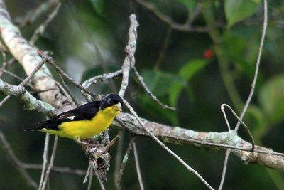 Lesser Goldfinch (Jiguero Menor)
