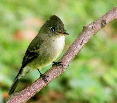Olive-sided Flycatcher (Pibi Boreal)