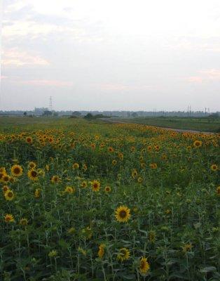 Sunflowers, Glorious Sunflowers