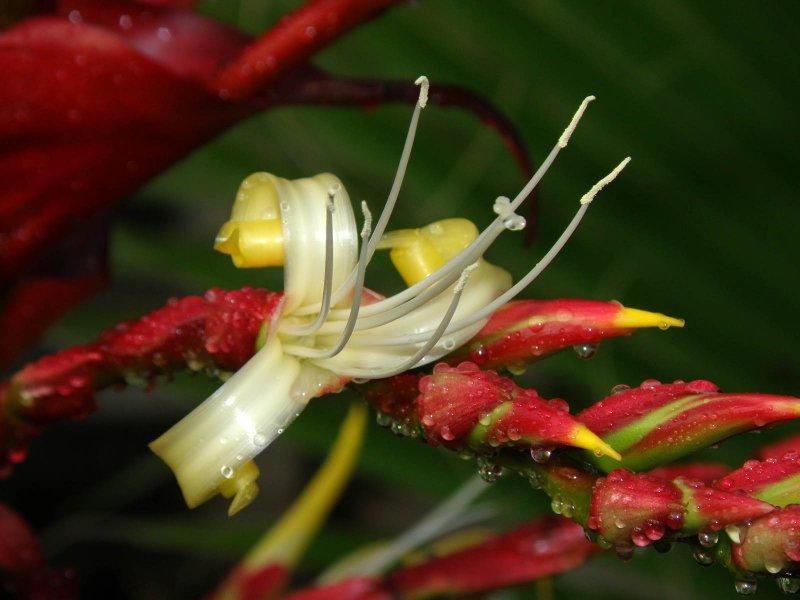 Imperial Bromeliad