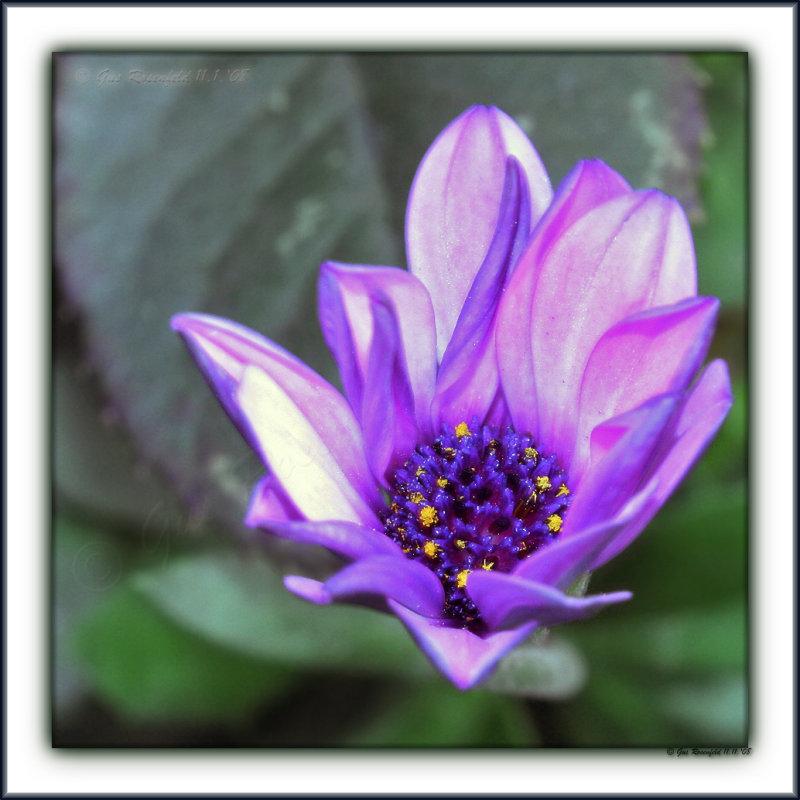 Ultra-Violet Flame