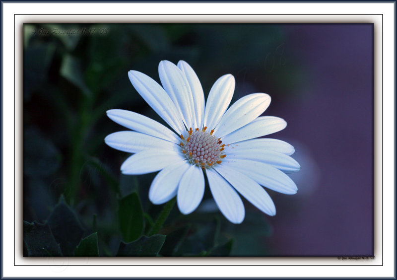 Another Last Daisy For This Gallery As Well - The Word Penultimate May Come To Bear ;-)