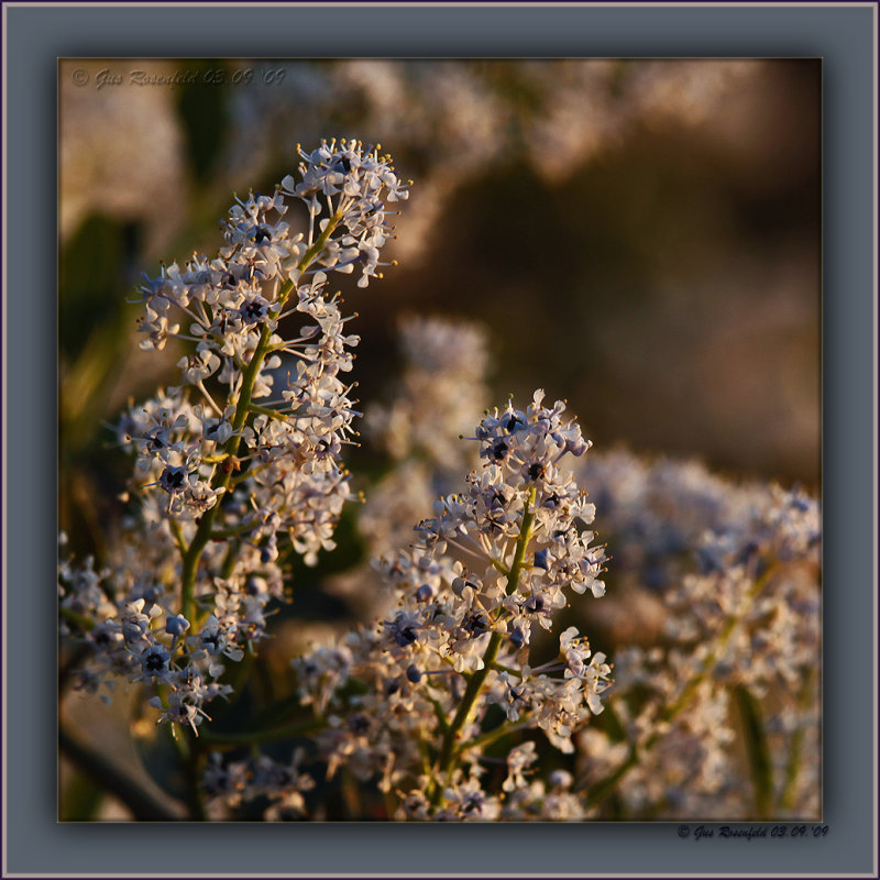 Green Bark Ceanothus/Califorina Lilac At Sunset