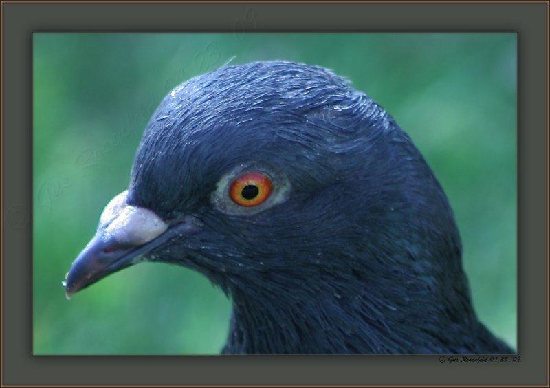 Silky Smooth - Dont Mess With The Zohan! Scrappy Coco The Pigeon