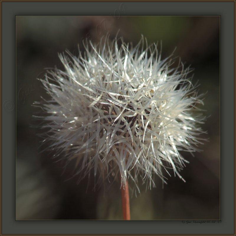 Silver Puffs ~ Uropappus lindleyi - Not A Dandelion