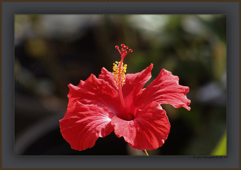 Hibiscus ~ Hours Old & Wind Dancing In The Santa Anas