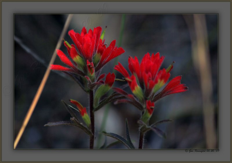 California Indian Paint Brush In The Shade