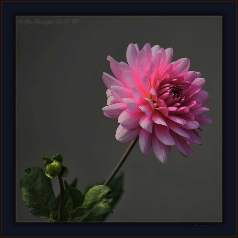Evening View From Above - Dahlia