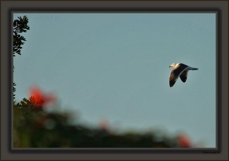 Gull Passing At Sunset