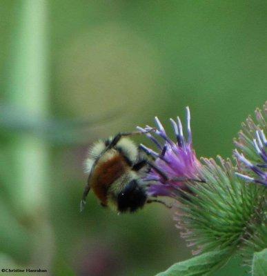 Red-banded bumblebee (Bombus ternarius) on Burdock