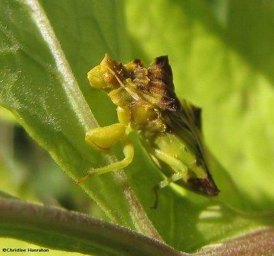 Ambush bug (Phymata)