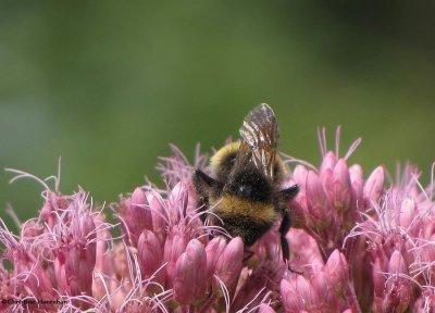 Bumblebee on joe-pye-weed