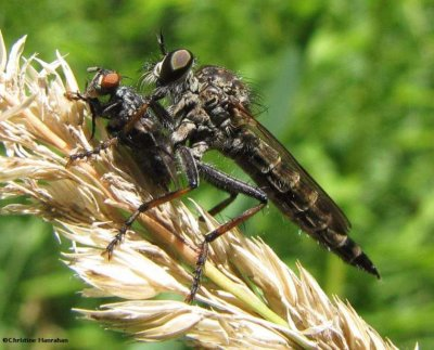 Robber fly (Asilid sp) with prey